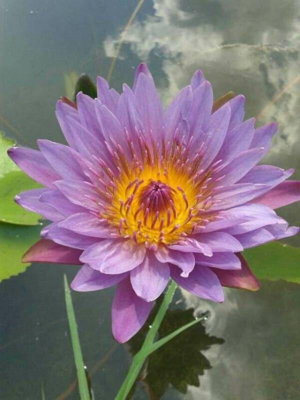 香水莲栽培繁殖